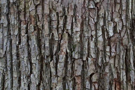 wrinkled rind: Striped bark of a tree in the wild autumn forest