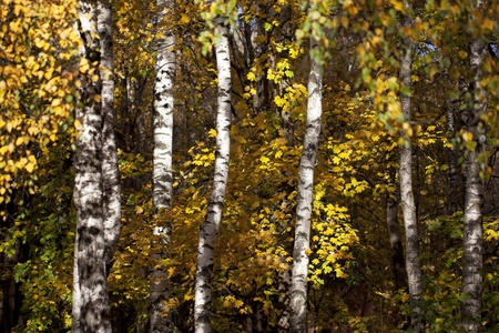 The trunks of birch trees with yellow and orange fall foliage in autumn forest photo