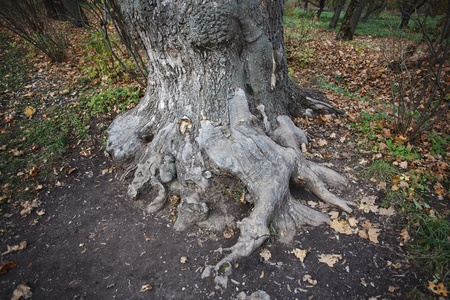 A huge old tree with bare roots in the autumn forest Stock Photo - 11237672