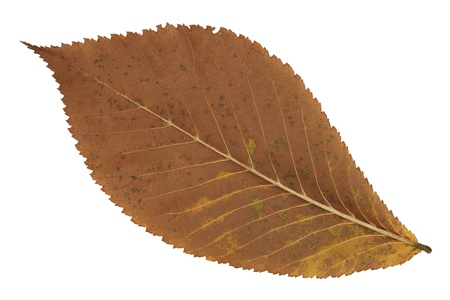 A faded brown autumn leaf on white background photo