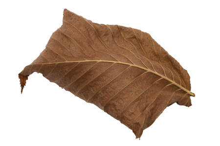 Dry fallen brown autumn leaf on white background photo