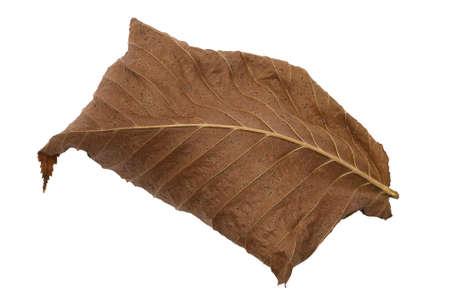 futile: Dry fallen brown autumn leaf on white background