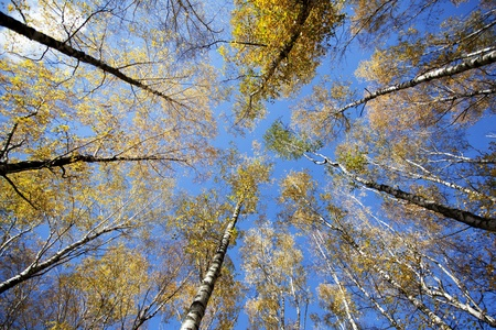 tallness: Converging at the top of the trees in autumn forest against the blue sky Stock Photo
