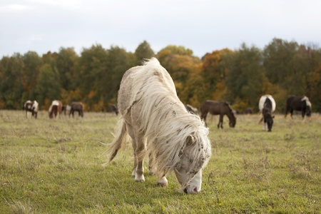 Small shaggy ponies grazing in the autumn field Stock Photo - 11756160