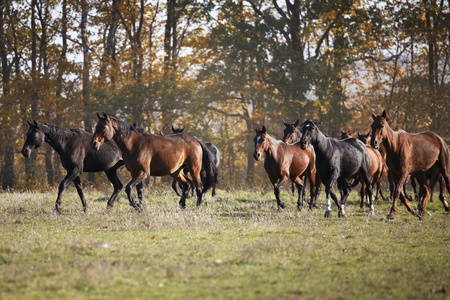 Herd of horses running across the field fall day photo
