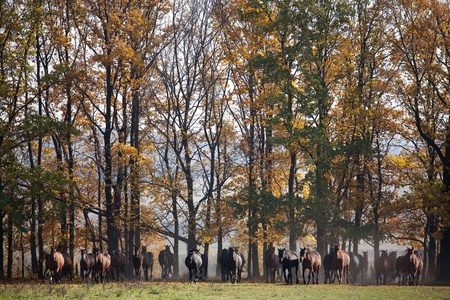 Horse herd runs out of the autumn forest Stock Photo