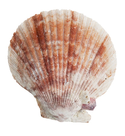 ossified: Petrified half the ocean seashells on a white background