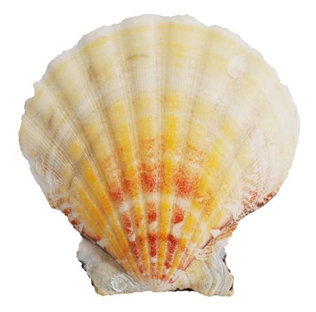 ossified: Petrified door ocean seashells on a white background