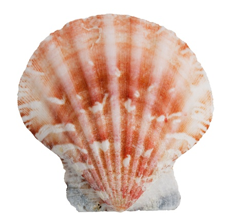 ossified: Pink shell clam ocean on a white background
