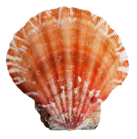 ossified: The shell clam ocean on a white background Stock Photo