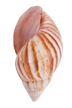 ossified: Striped colorful seashells on a white background