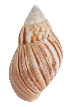 ossified: Beige colorful shell on white background
