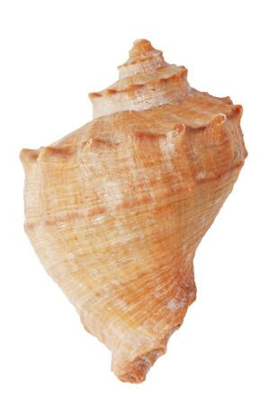 ossified: The brown sea shell on white background