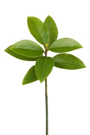 Los brotes verdes de hojas de laurel sobre un fondo blanco