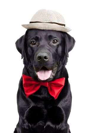 Black Labrador with a hat and tie on  white background