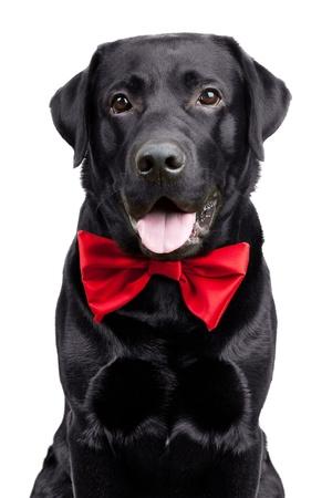 perro labrador: Labrador negro en la corbata de lazo sobre un fondo blanco Foto de archivo