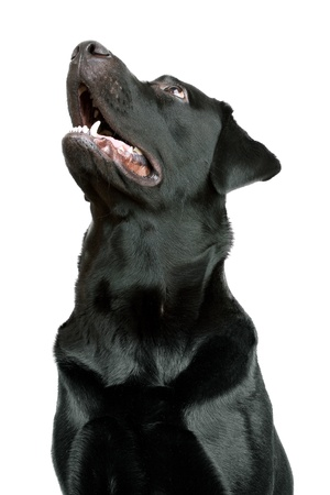 pawl: Black Labrador Retriever looking up at something