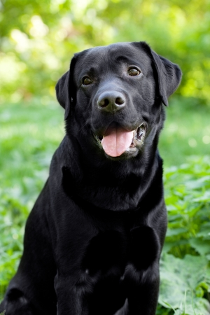 pawl: Black Labrador Retriever sitting on green grass background Stock Photo