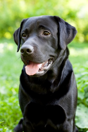 Black labrador retriever sitting on green grass background Stock Photo - 13561541