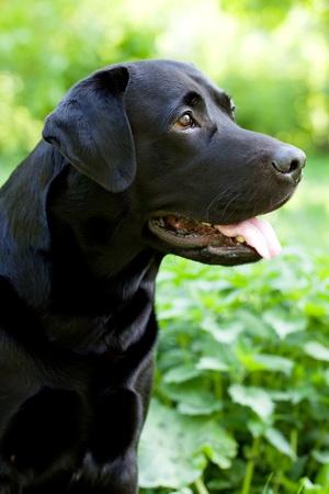 pawl: Large black Labrador retriever of green grass Stock Photo