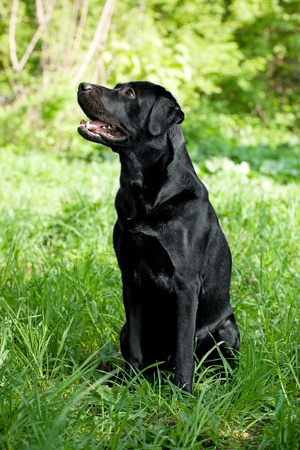 Labrador Retriever with a raised face in the grass Stock Photo - 13561547