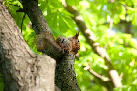 Red squirrel sitting on a branch of the chestnut tree