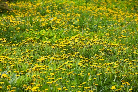 slew: Meadow with lots of blooming dandelions in the grass