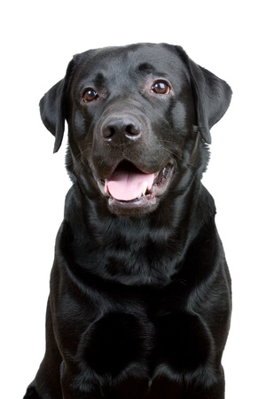 maw: Black Labrador Retriever with open mouth on a white background