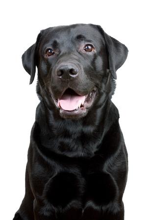 pawl: Nero Labrador Retriever con la bocca aperta su uno sfondo bianco