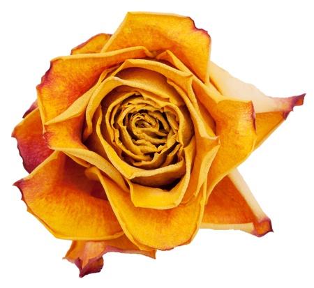 spiritless: Big bud dried orange roses on a white background