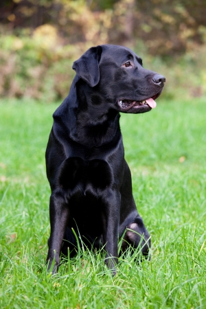 Black labrador retriever sitting on the green grass