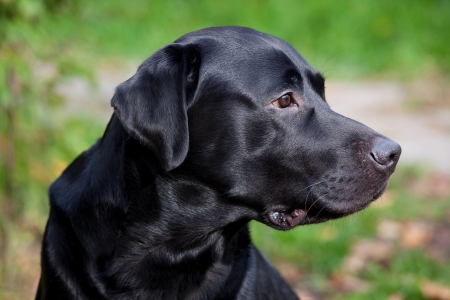 Black labrador retriever watching carefully for something Stock Photo - 15548323