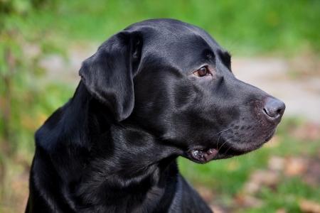 pawl: Nero labrador retriever guardando con attenzione per qualcosa