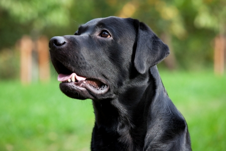 Beautiful black labrador retriever with open mouth Stock Photo