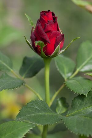 bourgeon: Rose bud on a stem with leaves