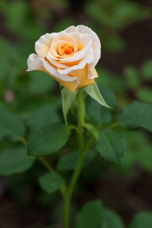 goodliness: Elegant white rose growing in the garden Stock Photo