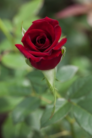 goodliness: Elegant burgundy rose growing in a greenhouse Stock Photo