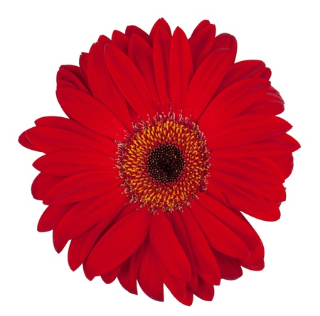 Burgundy gerbera flower on a white background photo