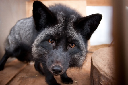 canid: Sly black fox looks straight at us