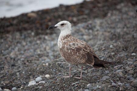 shingle beach: Large white gull walking on shingle beach