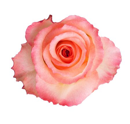 Beautiful pink rose on a white background Stock Photo - 17453633