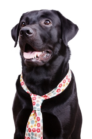 pawl: Cute black labrador in a flowered tie