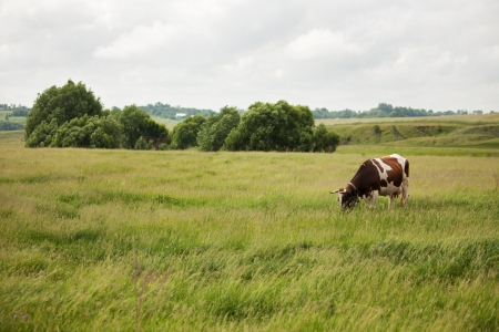 Speckled cow stands on a meadow and eat grass photo