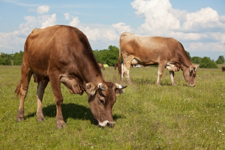 Two cows walk through a meadow and eat grass Stock Photo