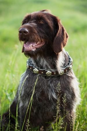 pawl: Shorthaired Pointer da caccia razza del cane � seduto in erba Archivio Fotografico