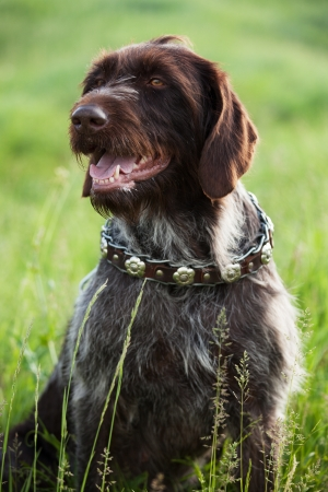 pawl: Shorthaired Pointer hunting dog breed is sitting in the grass