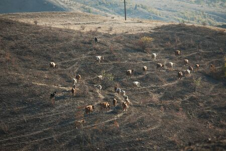 kine: Herd of cows grazing in a valley among the mountains Stock Photo