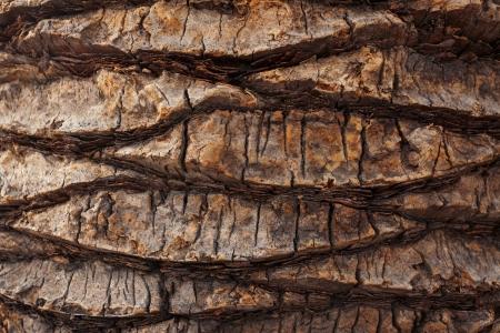 firmness: Corteza agrietada de edad palmeras tropicales