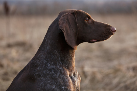 Brown pointer hunting dog sitting and looking into the distance