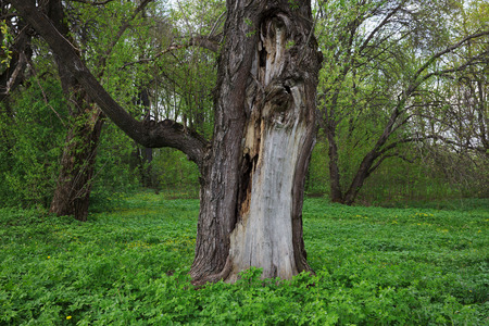 arboretum: Cracked trunk of an old tree in the forest Stock Photo